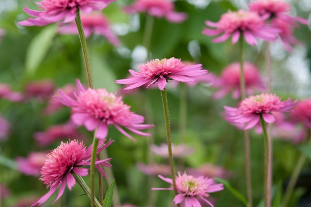 echinacea-southern-belle-9