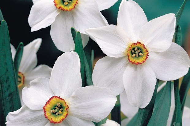 Single white flowers of Narcissus 'Actea' with red-edged yellow trumpets