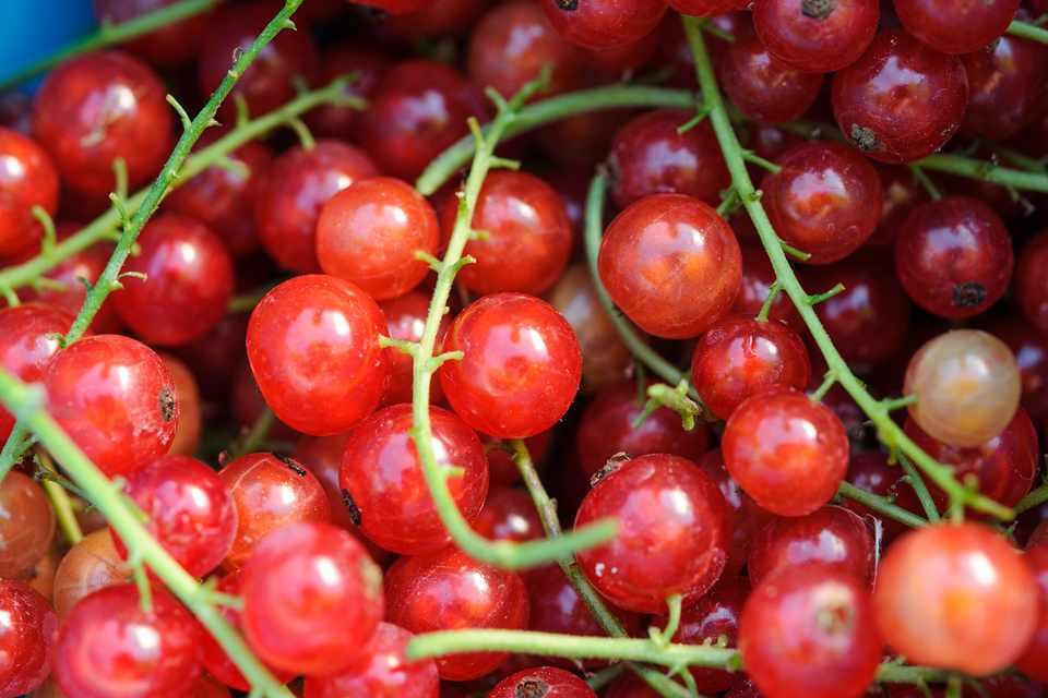 Strings of freshly harvested redcurrants