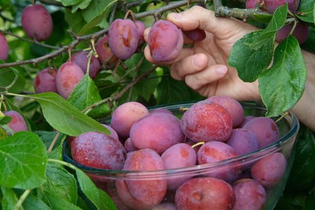 picking-plums-2