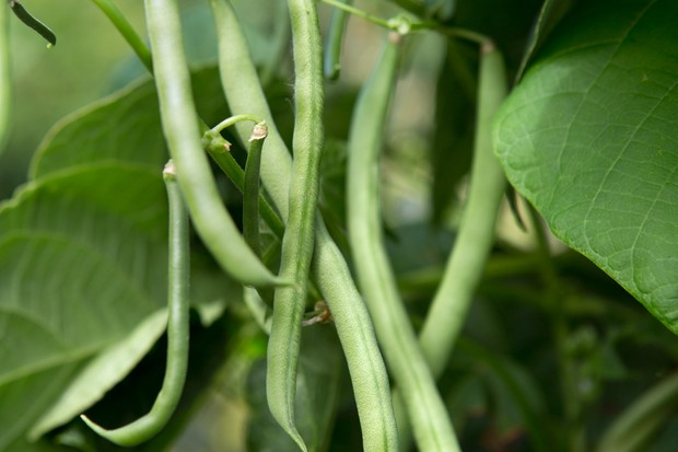 dwarf-french-beans-2