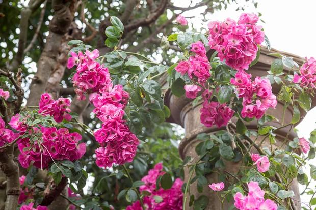 rambler-rose-growing-on-stone-pillar-2