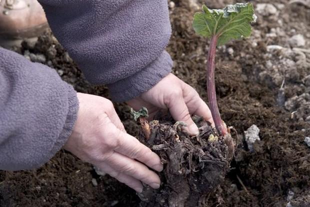 Planting rhubarb crown