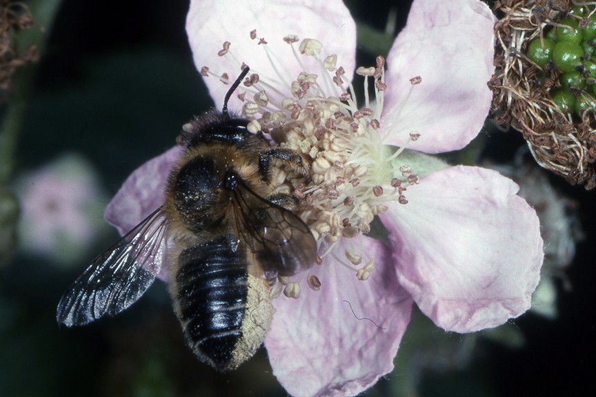 Quick Tips Should I be worried about leafcutter bee damage to my roses