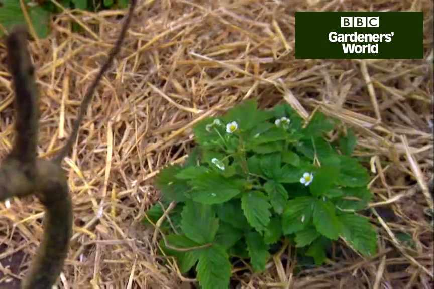 How to protect strawberry crops video