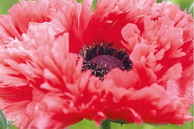 papaver-orientale-garden-glory-2