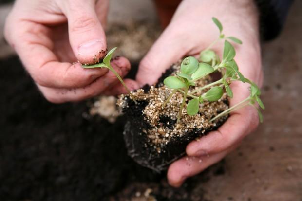 prick-out-seedlings-2