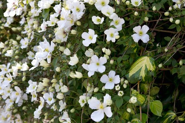 Many white blooms of Clematis montana var. 'Grandiflora'