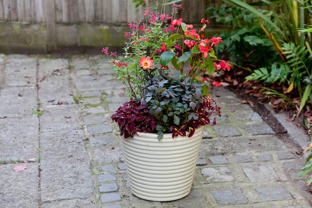 shady-container-containing-salvias-begonias-dahlias-and-coleus-2