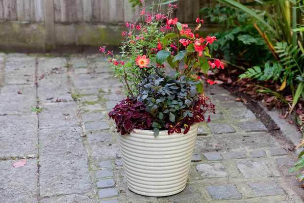 shady-container-containing-salvias-begonias-dahlias-and-coleus-2