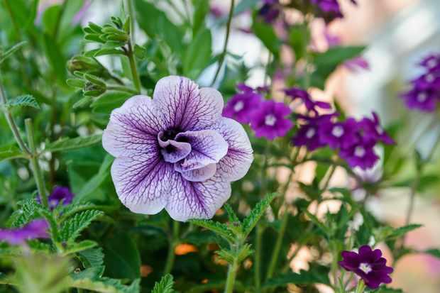 petunia-priscilla-2