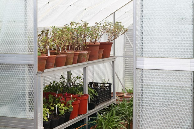 Frost-free greenhouse with potted pelargoniums