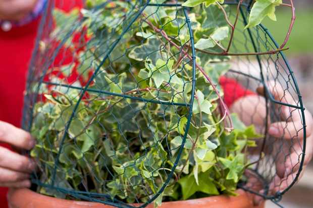 placing-the-topiary-frame-over-the-pot-3