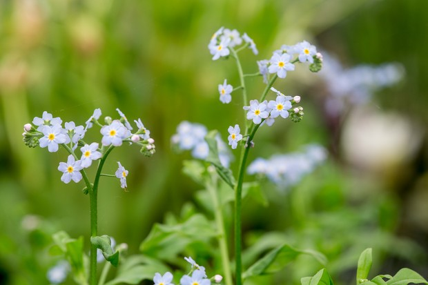 Pale-blue water forget-me-not flowers