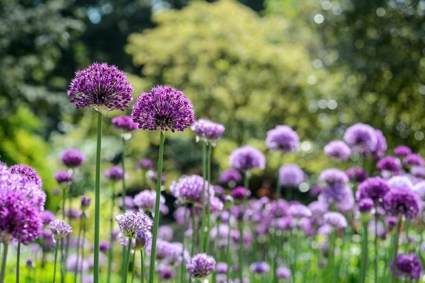 allium-hollandicum-purple-sensation-3