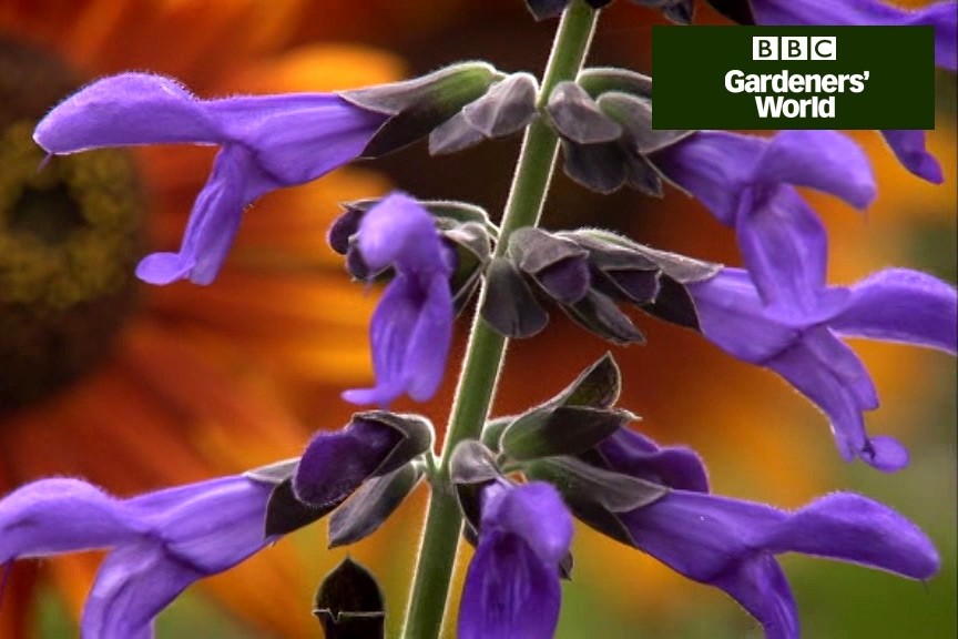 How to perk up your borders with tender plants video
