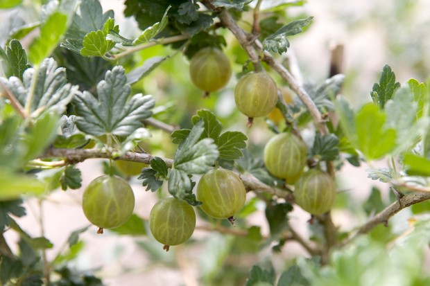 gooseberry-cordon-2