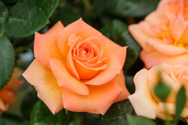 Rose 'Lady Marmalade' flower