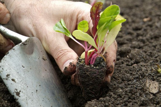 plant-the-plugs-in-well-prepared-soil