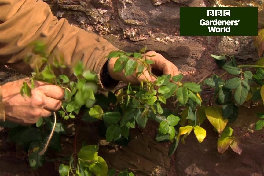 How to train and prune a climbing rose video