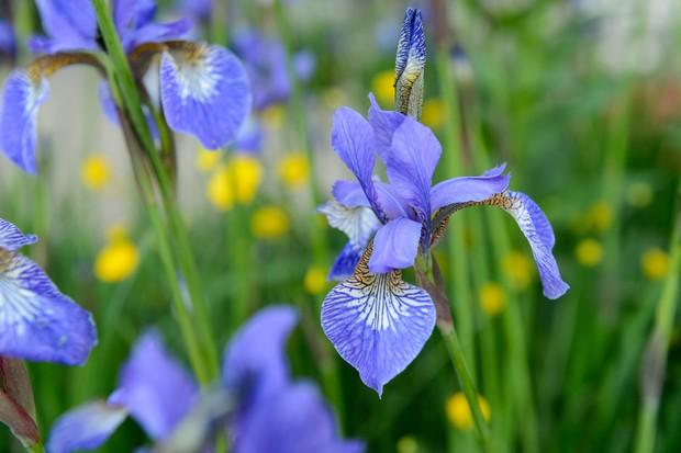 siberian-iris-iris-sibirica-tropic-night