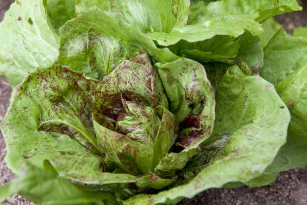 A radicchio heart developing red-flecking