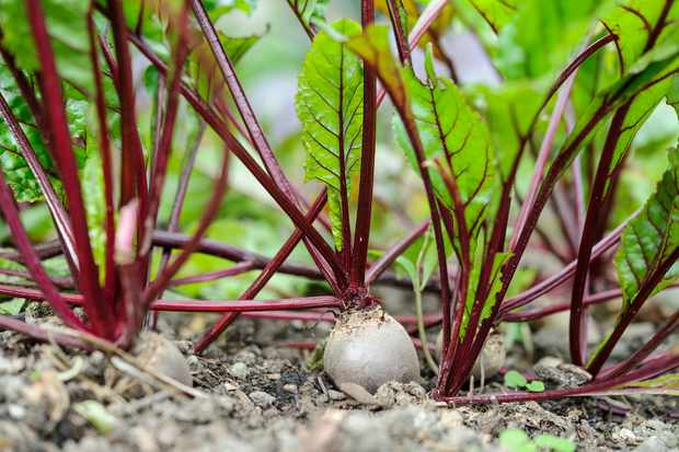 Beetroot ready to harvest
