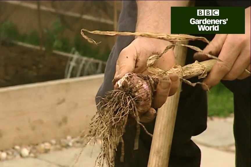 How to harvest garlic video