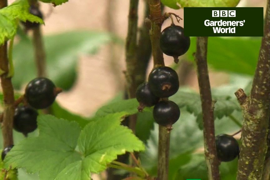 How to prune blackcurrant plants