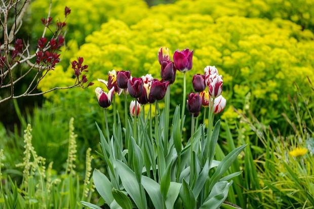 tulips-in-pots-3