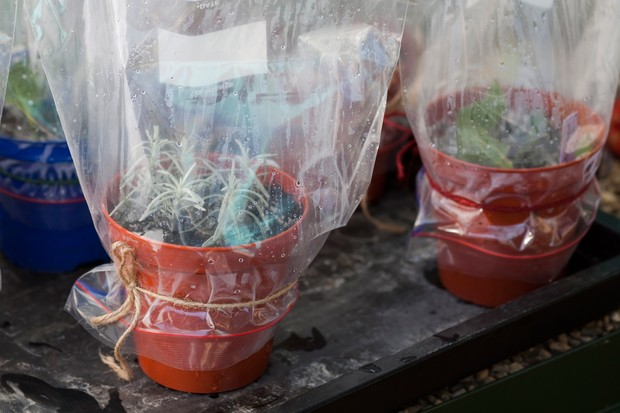 Lavender cuttings in bags