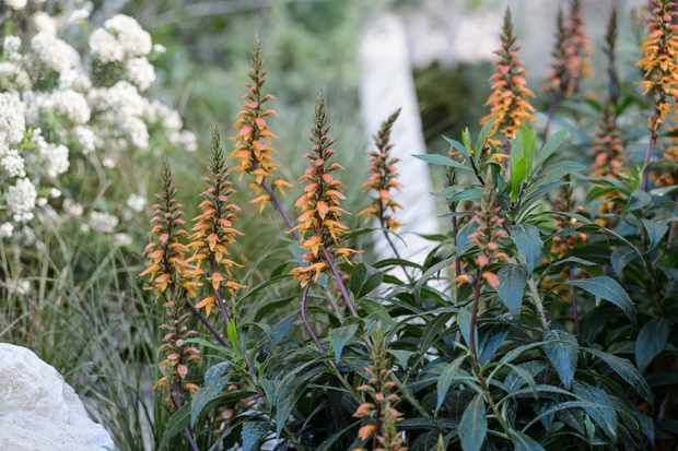 digitalis-canariensis-2