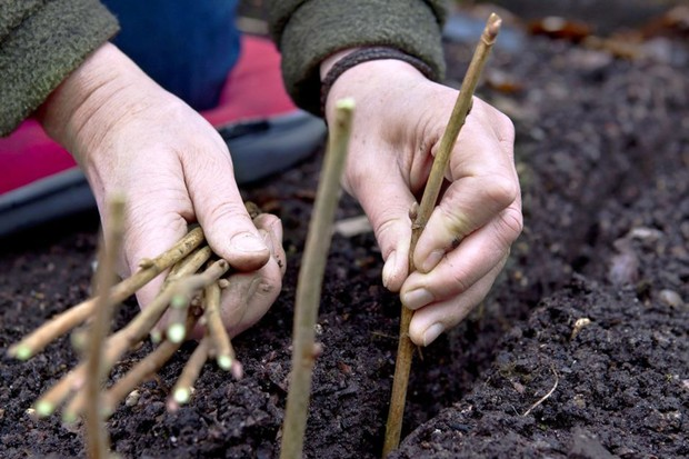 Taking blackcurrant cuttings - placing cuttings in a trench