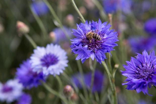 Honeybee on cornflower, Centaurea cyanus