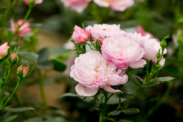 Large pale-pink flowers of Rosa 'The Queen's London Child'