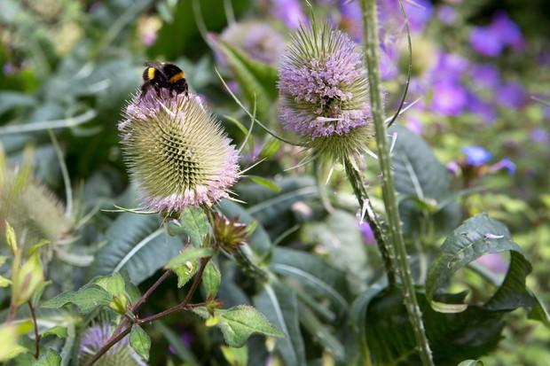 A bee on a teasel head