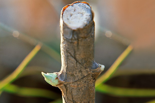 swellings-emerging-from-dracaena-stem