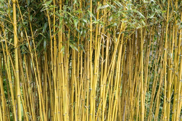 An attractive screen of bamboo