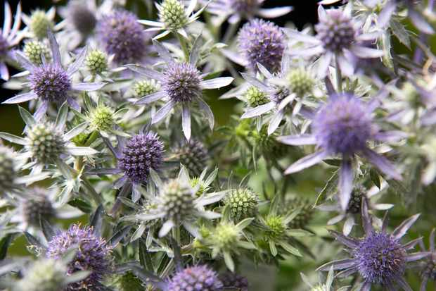 Spiky, blue sea holly flowers