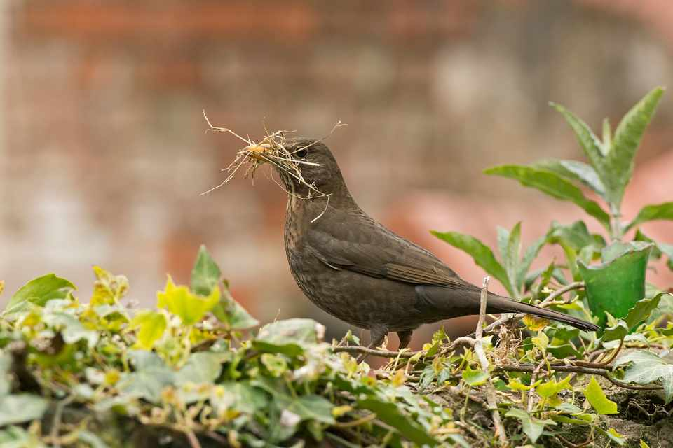 Blackbird with grass. Photo: Getty Images.