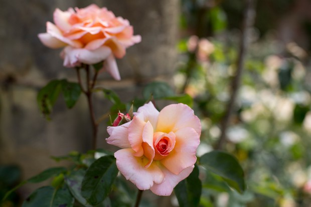 Apricot and salmon-pink blooms of climbing rose 'Compassion'