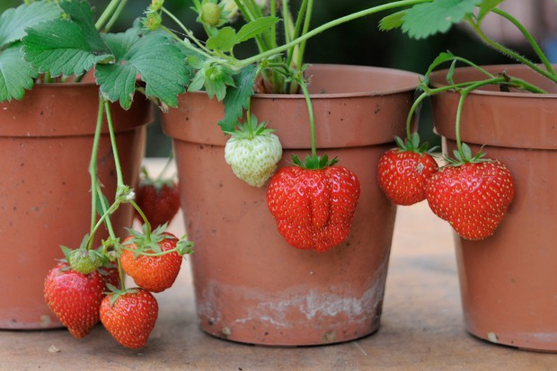 Pots of strawberry 'Sonata'