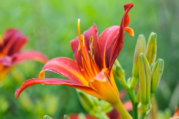 hemerocallis-stafford-2