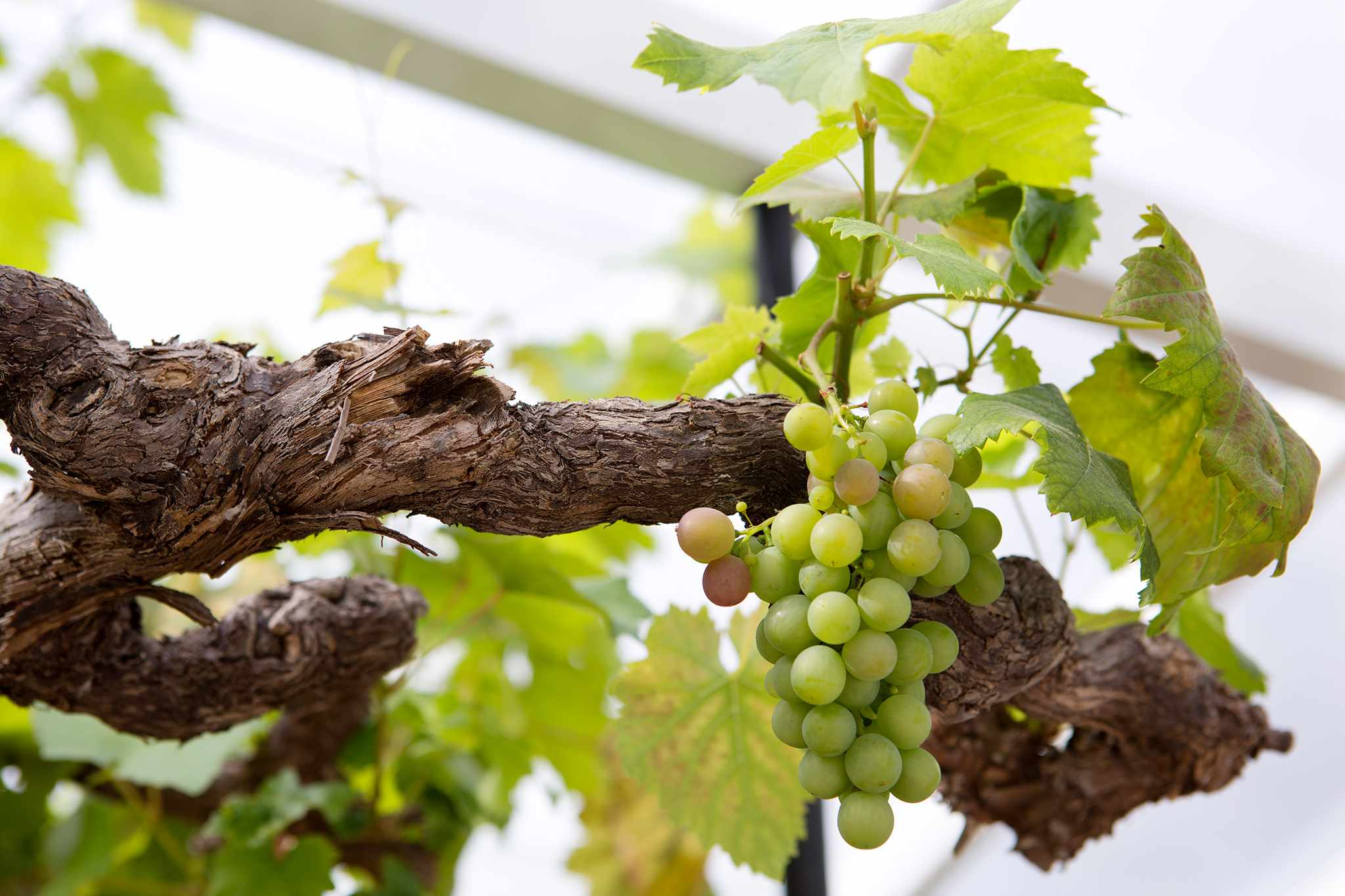 Grapes in a greenhouse