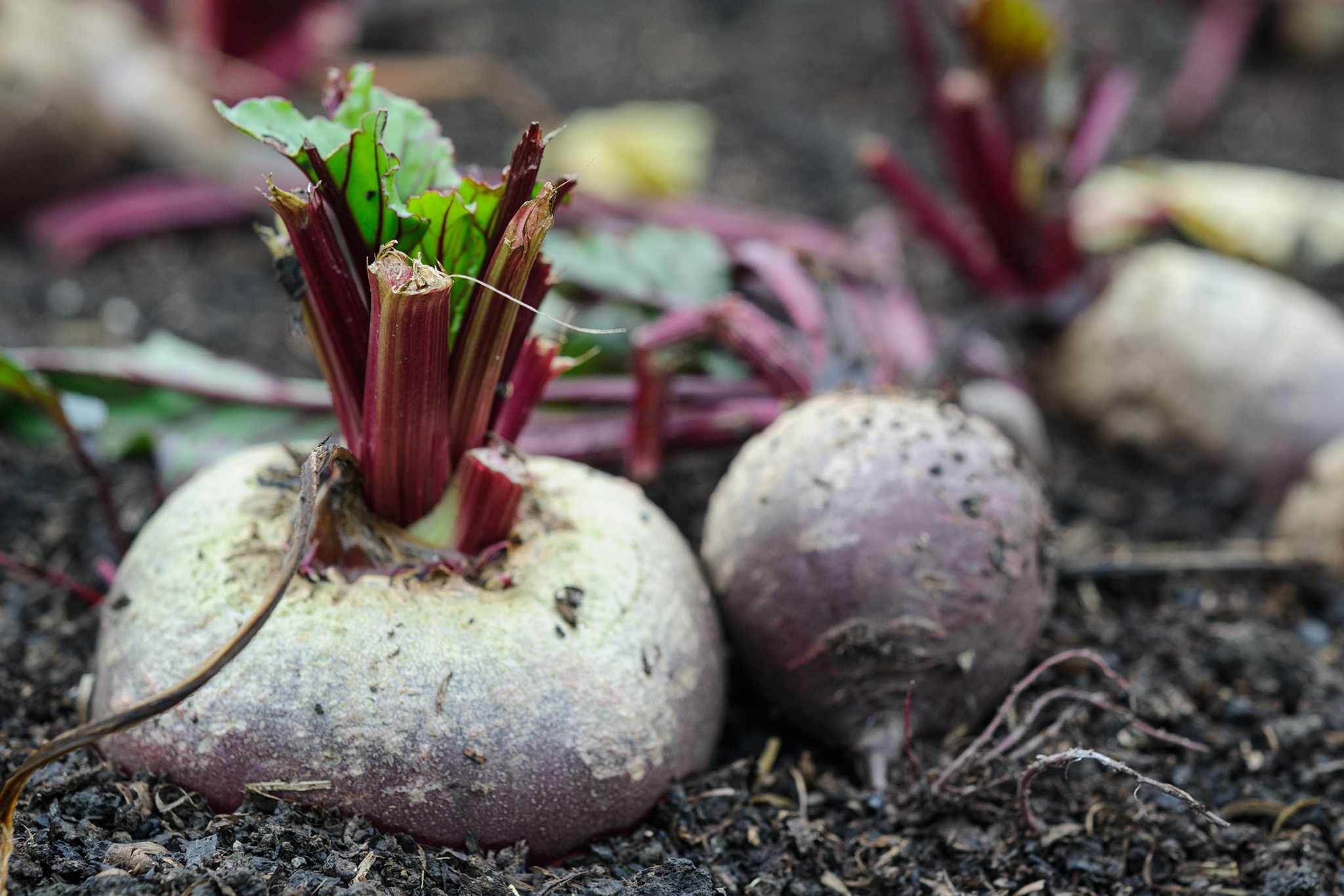 Beetroot growing