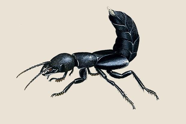 Devil's coach horse (Ocypus olens) illustration