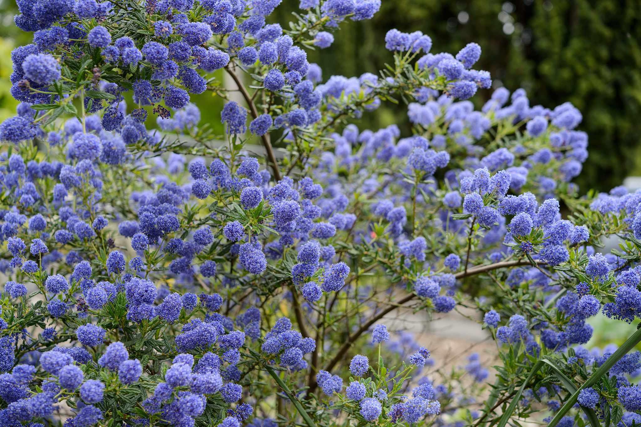 California lilac Ceanothus 'Concha'
