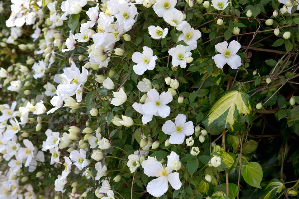 A mass of white blooms of Clematis montana var. 'Grandiflora'