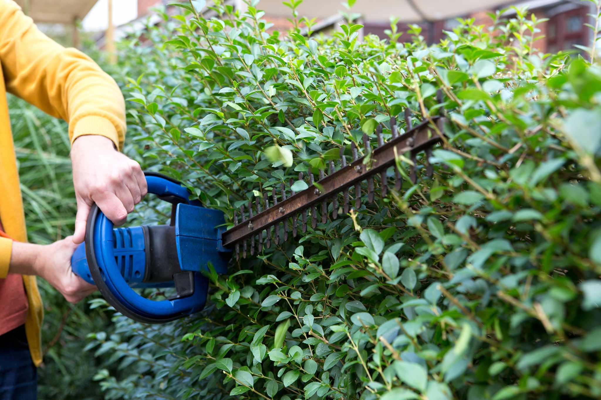 Trimming a privet hedge