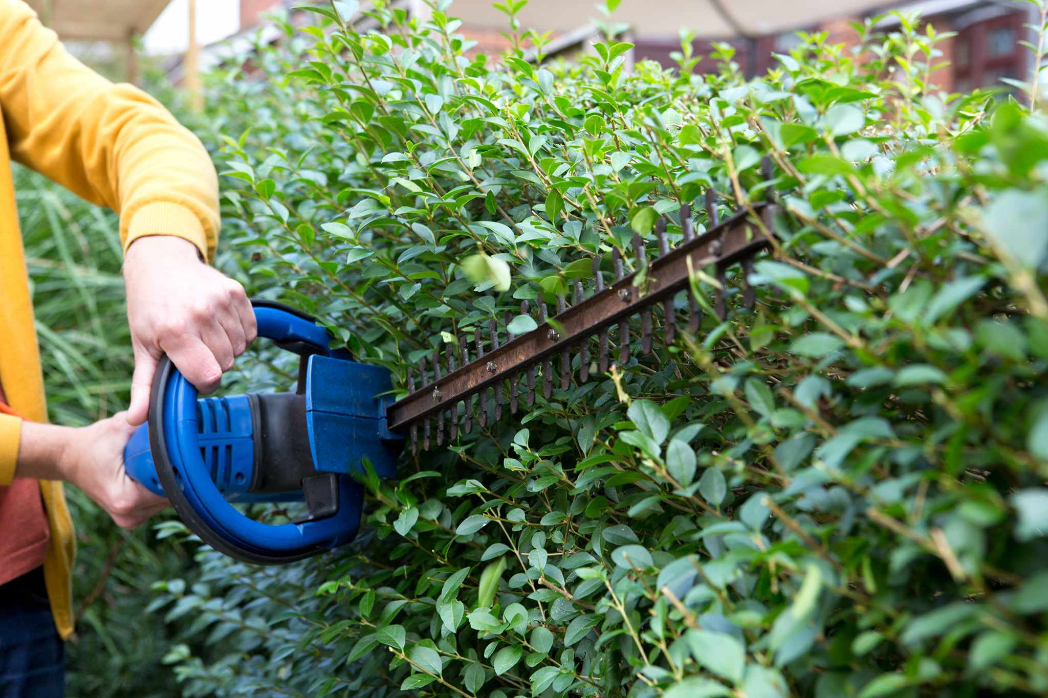 Trimming a privet hedge